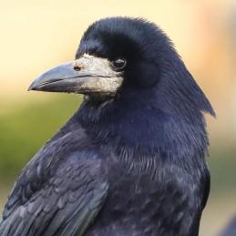 Qui NO - Gél proti vtákom (vrana)
